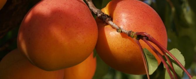 cesens frutas berdejo