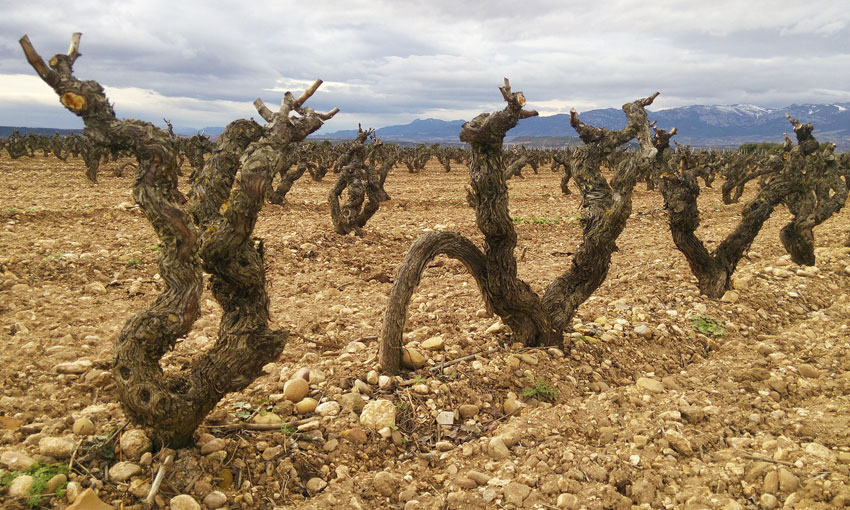 Worrying drought in the DOCa Rioja